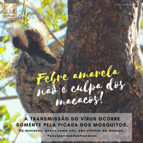 Febre amarela não é culpa dos macacos - Sagui-do- tufo- branco